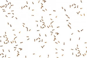 Imagem com muitas formigas em uma casa que optou por não manter dedetização em dia